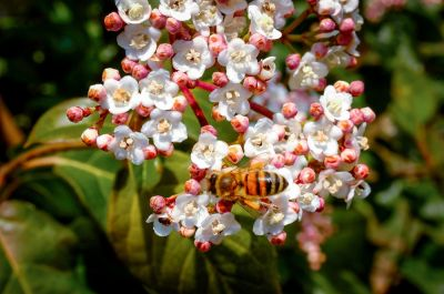 Garden plant of the moment: Viburnum